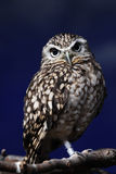 Owl. The baby owl is standing on the tree Royalty Free Stock Images