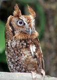 Owl. An Owl sitting on a branch Royalty Free Stock Image