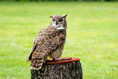 Owl. An owl royalty free stock images