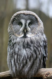 Owl. Sitting on the branch close up Royalty Free Stock Photo