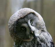 Owl. Sitting on the branch close up Royalty Free Stock Photos
