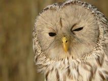 Free Owl Stock Photos - 4695303