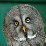 Owl 5. Portrait of a great grey owl royalty free stock photo