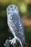 Owl. Grey owl perched on a bird handlers hand Royalty Free Stock Photography