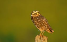 Owl. An owl royalty free stock image