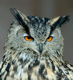 Owl. The orange eyes of an owl stock image