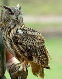 Owl. On the leatherhand of a falconer Stock Photography