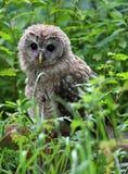 owl Royaltyfri Foto