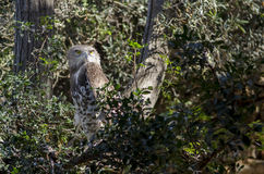 owl Royaltyfri Bild