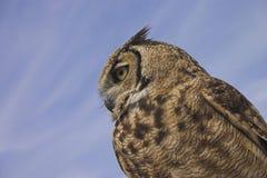 Owl Royalty Free Stock Photo