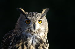 Owl. KONICA MINOLTA DIGITAL CAMERA Royalty Free Stock Photo