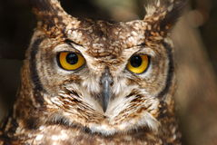 Owl. A spotted owl staring, Capeetown South Africa Stock Images