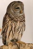 Owl. Full frame view of owl against white background Stock Photo