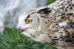 Owl. A portrait of a great owl Royalty Free Stock Photo
