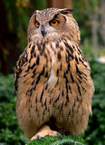 owl Fotografering för Bildbyråer