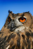 Owl. Thoughtful look of beautiful owl Royalty Free Stock Photography