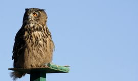 Owl. Watchitg its prey Stock Photo