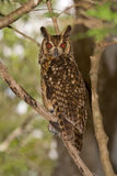 Owl. Wild Owl in daytime, Madagascar Royalty Free Stock Photo