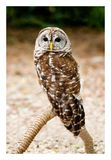 Owl. Very Still Owl starring at you stock photography