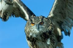 Owl in action Royalty Free Stock Photography
