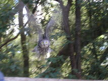 Owl Action Shot. Motion blurred Owl Swoop at Healesville Sanctuary, Victoria Stock Images