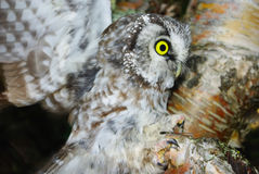 Owl (Aegolius funereus) Royalty Free Stock Photos