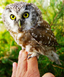 Owl (Aegolius funereus) Royalty Free Stock Photography