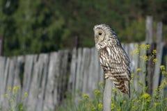 Owl/An欧洲产之大雕 库存图片