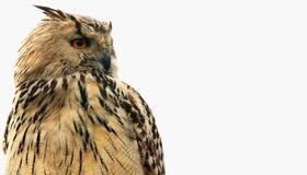 Owl as symbol of wisdom and knowledge Stock Image