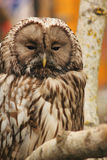 Owl as symbol of wisdom and knowledge. (fragment Stock Photography
