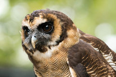Owl. An Asian brown wood owl stock images
