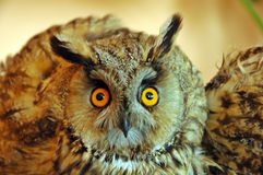 Owl (Asio otus) Stock Images