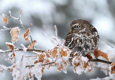 Owl Athene noctua in winter Royalty Free Stock Images