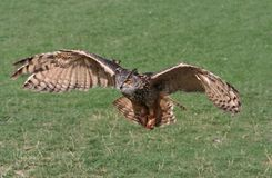 Owl Attack. Owl flying and is caught just before attacking pray stock photography