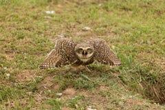 Owl attacking Royalty Free Stock Photos