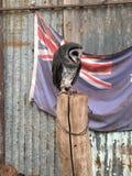 Owl in Australia stock images