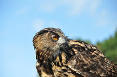 Owl in Avifauna Stock Photography