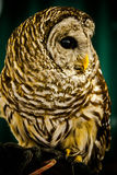 Owl Aware. A Barred Owl on display at a show in Howland, Ohio, USA stock image