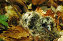 Owl babies Royalty Free Stock Images