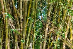 Owl in bamboo. Owl sitting in bamboo over the Dutch channel in Negombo, Sri Lanka stock photography