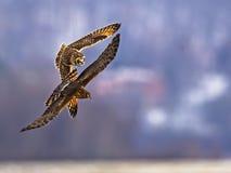 Owl Battles Harrier met korte oren stock fotografie