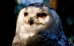 Owl, Beak, Bird Of Prey, Bird Stock Image