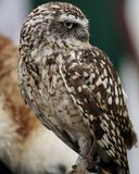 Owl, Beak, Bird Of Prey, Fauna Royalty Free Stock Image
