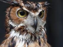 Owl, Beak, Bird Of Prey, Fauna Stock Image