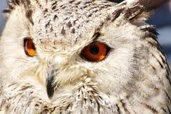 Owl, Beak, Bird Of Prey, Fauna royalty free stock photo