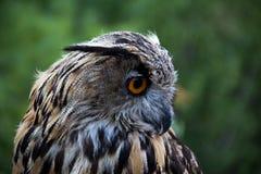 Owl, Beak, Bird Of Prey, Fauna Royalty Free Stock Images