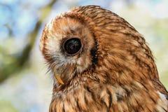 Owl, Beak, Fauna, Bird Of Prey Stock Photo