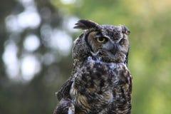 Owl, Beak, Great Grey Owl, Bird Of Prey Royalty Free Stock Photos