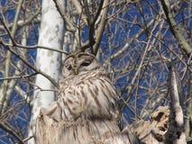 Owl. Beautiful Barred Owl sitting atop a tree Stock Image