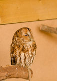 Owl. Beautiful little owl sitting on the wood Royalty Free Stock Photos